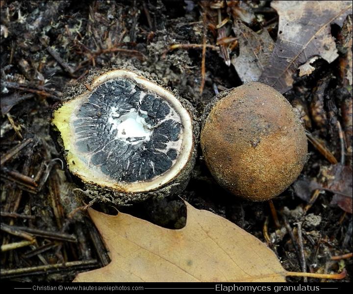 Truffe des cerfs elaphomyces granulatus champignon qui pousse sous terre - Champignon qui mange le bois ...