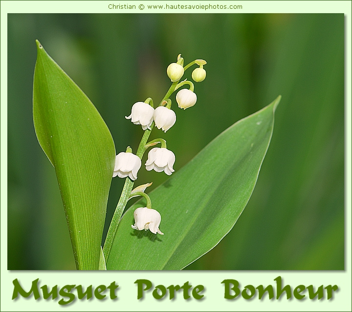 carte de voeux avec du muguet porte bonheur. Black Bedroom Furniture Sets. Home Design Ideas