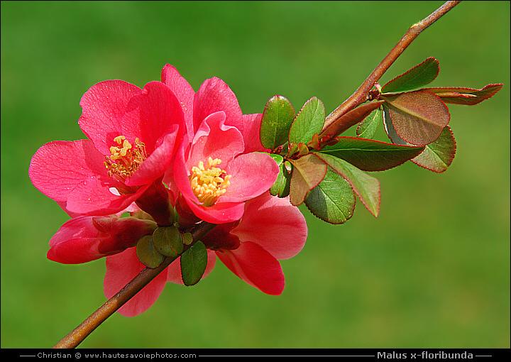 Pommier du japon malus x floribunda arbuste de la famille des rosaceae - Pommier du japon fruit ...